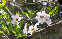Um ramo com flores da amêndoa foto de stock