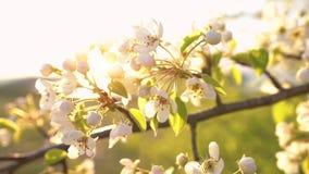 Um ramo da árvore de maçã de florescência no vento claro da mola no por do sol filme