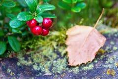 Um ramo da airela madura selvagem Imagem de Stock
