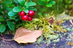 Um ramo da airela madura selvagem Foto de Stock