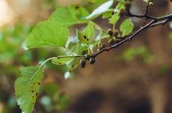 Um ramo da amoreira ou do Tutovik com frutos verdes fotografia de stock