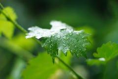 Um ramo da hera verde Foto de Stock