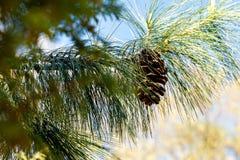 Um ramo da madeira conífera com um cone Fotos de Stock Royalty Free