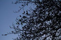Um ramo da silhueta Imagens de Stock