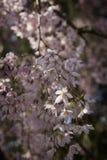 Um ramo das flores de cerejeira Fotografia de Stock