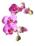 Um ramo das flores e dos botões da orquídea do phalaenopsis isolados no whi Fotos de Stock