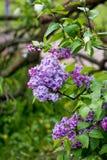Um ramo das sirenes em uma árvore em um jardim, parque Foto de Stock Royalty Free