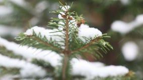Um ramo de árvore coberto de neve do abeto, neve gelada cai na floresta video estoque