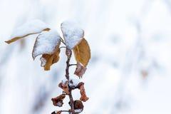 Um ramo de árvore com as folhas alaranjadas secas, cobertas com a neve, em um li fotos de stock