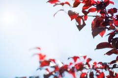 Um ramo de árvore com vermelho sae em um céu azul Folhas frescas e vermelhas da ameixa em um fundo ensolarado Folha cor-de-rosa e foto de stock