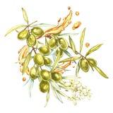 Um ramo de azeitonas verdes e de flores suculentas, maduras em um fundo branco As gotas e espirram do azeite botanical ilustração royalty free