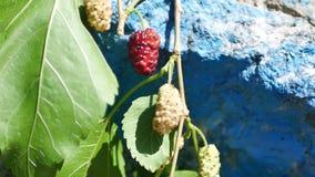 Um ramo de bagas de amadurecimento da amoreira no fundo de uma parede de pedra azul velha, as folhas balança no vento filme
