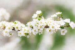 Um ramo de florescência branco da mola Imagens de Stock