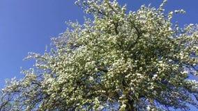 Um ramo de florescência da árvore de maçã na mola vídeos de arquivo