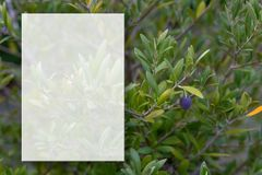 Um ramo de oliveira com azeitonas Foco macio Ramo de oliveira e fundo obscuro Modelo transparente para o índice Copie o espa?o imagens de stock royalty free