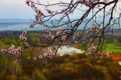 Um ramo de um abricó de florescência Imagens de Stock Royalty Free