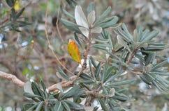 Um ramo de uma árvore coberta com as folhas prata-verdes Fotos de Stock