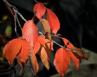 Um ramo de uma árvore com as folhas coloridas da queda Fotografia de Stock