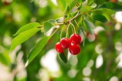 Um ramo de uma árvore com cereja dos frutos Fotos de Stock Royalty Free