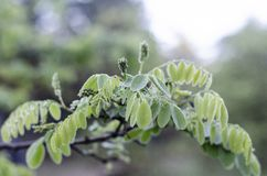 Um ramo de uma árvore da acácia com as folhas verdes novas após a chuva Grande no centro foto de stock royalty free