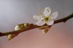 Um ramo de uma árvore de florescência com flores brancas Floweri da mola Imagens de Stock Royalty Free