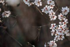 Um ramo de uma árvore de florescência com flores brancas imagem de stock royalty free
