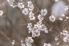 Um ramo de uma árvore de florescência com flores brancas fotografia de stock royalty free