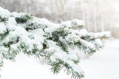 Um ramo de uma árvore de Natal sob a neve snowfall Fotografia de Stock