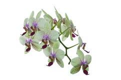 Um ramo de uma orquídea de florescência Imagens de Stock Royalty Free