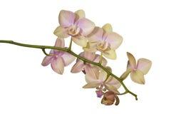 Um ramo de uma orquídea de florescência fotos de stock royalty free