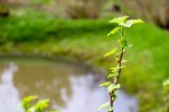 Um ramo de uma planta verde, um arbusto com florescência nova sae contra o fundo Fotos de Stock