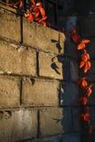 Um ramo de uvas selvagens vermelhas em um fundo da parede de tijolo foto de stock royalty free