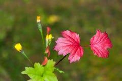 Um ramo de um viburnum com as folhas de outono vermelhas imagens de stock