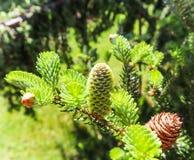 Um ramo do abeto coreano com o cone novo no jardim da mola foto de stock