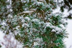 Um ramo do abeto vermelho coberto com o fim da neve acima fotos de stock