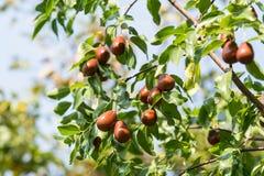 Um ramo do jujuba-bom lat da colheita Jujuba do Ziziphus Fotos de Stock Royalty Free
