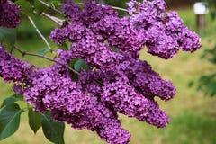 Um ramo do lilás no jardim Um grupo bonito do close up lilás os lilás floresceram na mola adiantada Imagens de Stock Royalty Free