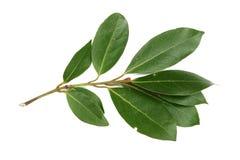 Um ramo do louro isolado no fundo branco Folhas de louro frescas Vista superior Fotos de Stock