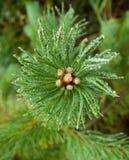Um ramo do pinho no gelo Fotos de Stock Royalty Free