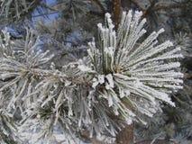 Um ramo do pinho no inverno imagem de stock