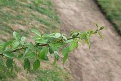 Um ramo do sorrisos cor-de-rosa no sol Um ramo de uma rosa em um fundo isolado imagem de stock