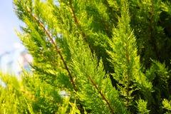 Um ramo do Thuja da árvore conífera no tempo ensolarado Imagem de Stock