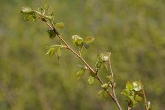 Um ramo do vidoeiro careliano com jovens sae em um fundo borrado da grama verde Foto de Stock