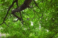 Um ramo enorme pendura para baixo fotos de stock