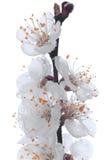 Um ramo está no orvalho Fotos de Stock Royalty Free