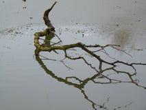 Um ramo que encontra-se em um lago congelado Fotos de Stock Royalty Free