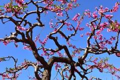 Um ramo velho que flor de florescência do pêssego fotos de stock royalty free