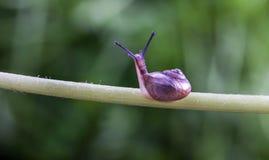 Um rastejamento pequeno do caracol Foto de Stock