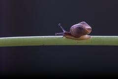 Um rastejamento pequeno do caracol Fotos de Stock