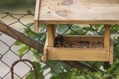 Um rato da floresta senta-se no alimentador do pássaro e come-se o alimento imagens de stock royalty free